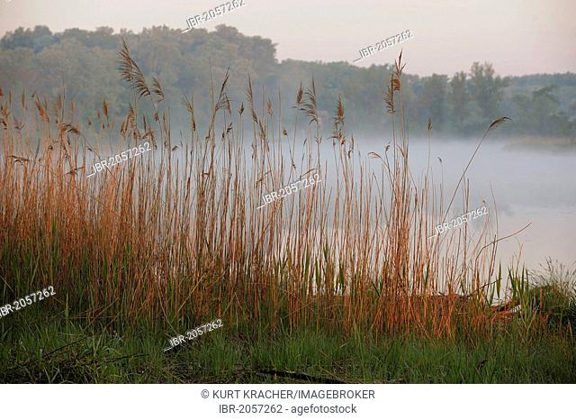 Early morning mood, Danube wetlands, Donau Auen National Park, Lower Austria, Austria, Europe