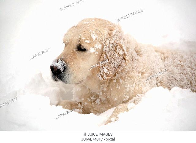 View of a golden retriever lying in the snow