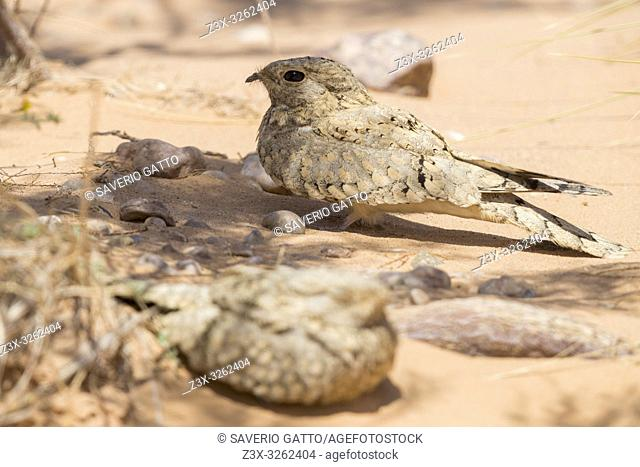 Egyptian Nightjar (Caprimulgus aegyptius saharae), two adults resting on the ground in Morocco