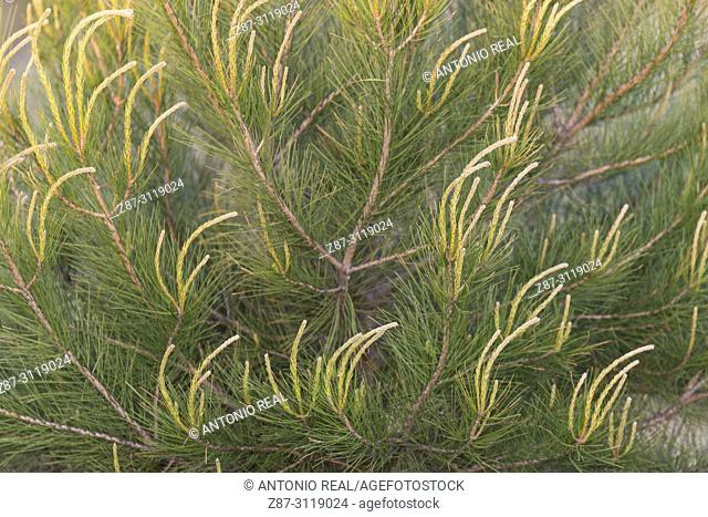 Pine leaves (Pinus halepensis). Almansa. Albacete. Spain