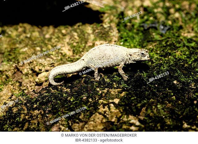 Mount d'Ambre leaf chameleon (Brookesia tuberculata), male, Amber Mountain National Park, northern Madagascar, Madagascar