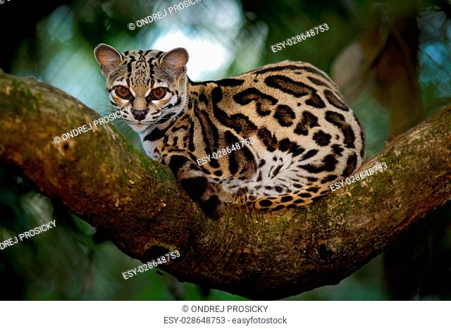Margay, Leopardis wiedii, beautiful cat sitiing on the branch