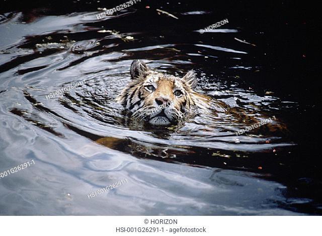 Wildlife, Mammal, Tiger, Bengal Tiger