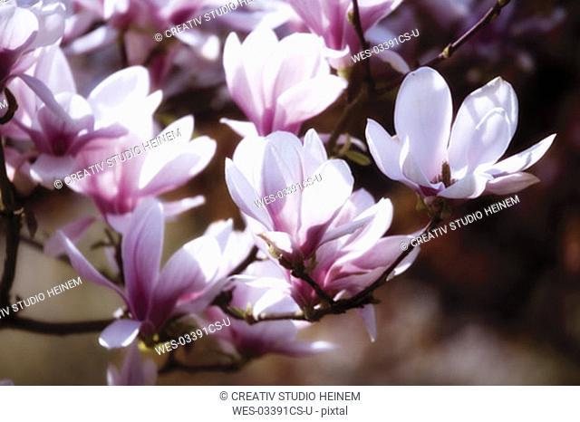 Magnolia flowers, close-up