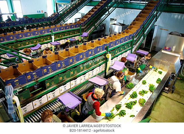 Handling and packaging of bananas, San Andres y Sauces, La Palma, Canary Island, Spain