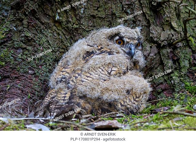Eurasian eagle owl (Bubo bubo) chick / owlet in exposed nest on the ground at base of pine tree in coniferous forest