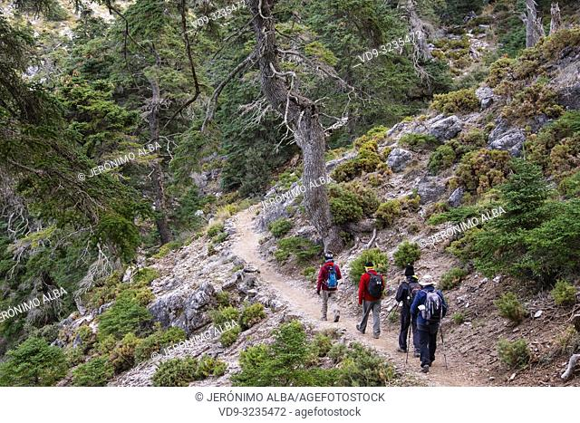 Hiking in nature. Biosphere Reserve. Natural Park Sierra de las Nieves. Spanish Fir Abies pinsapo. Ronda, Malaga province. Andalusia, Southern Spain