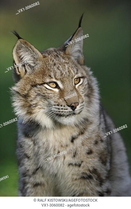 Head portrait of Eurasian Lynx (Lynx lynx), wonderful warm light, late evening light, tipped ears, Germany, Europe