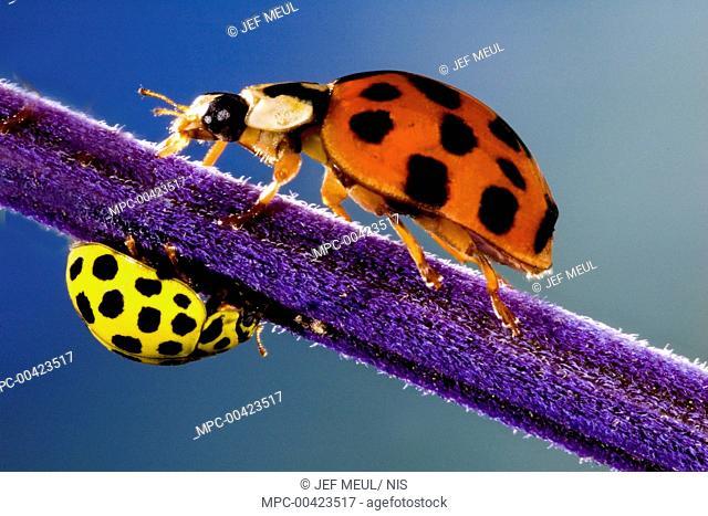 Asian Ladybird Beetle (Harmonia axyridis) and 22 Spot Ladybird (Psyllobora vigintiduopunctata) on a purple stalk, Belgium