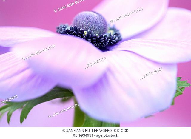 soft and romantic purple anemone flower head on lilac - fine art photography © Jane-Ann Butler Photography JABP532 RIGHTS MANAGED