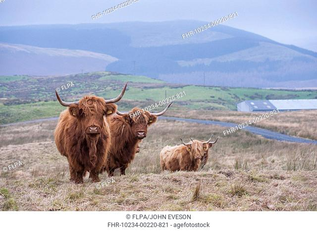 Domestic Cattle, Highland cows, standing on hill farm, Ponterwyd, Cambrian Mountains, Ceredigion, Mid Wales, December