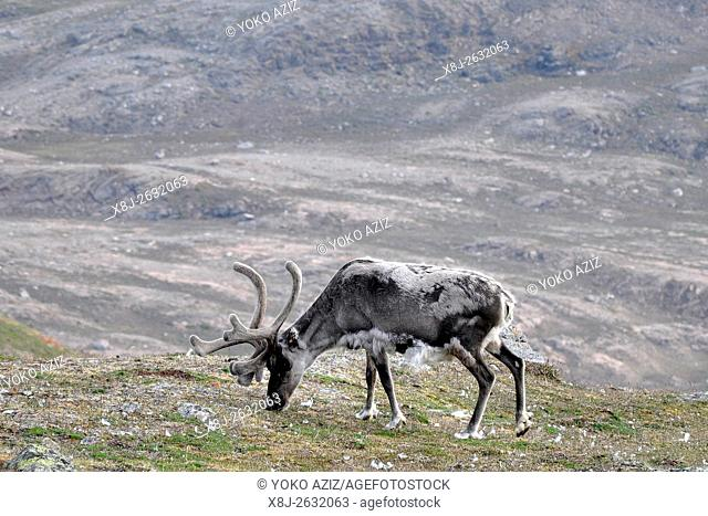 Norway, Svalbard islands, Spitsbergen island, reindeer