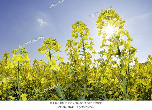Oilseed rape (Brassica napus) close up against sky with sun as backlight, lensflare. Bararia, Germany, Europe