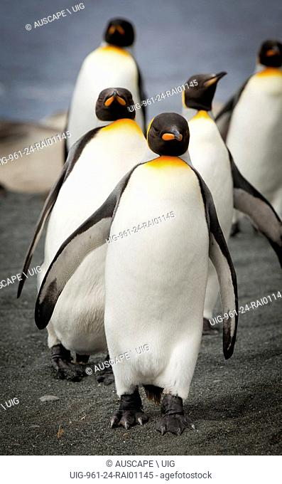King penguins, Aptenodytes patagonicus, small group on the beach. Macquarie Island, Sub Antarctic, administered by Tasmania, Australia