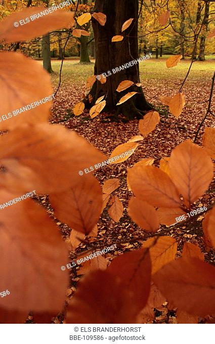 Autumn leaves of a Red Beech