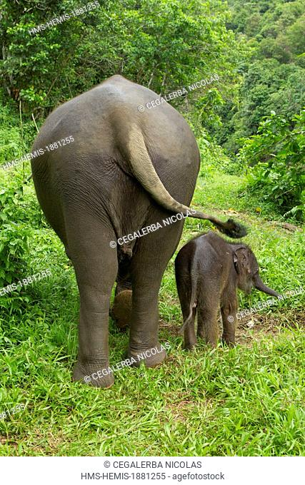 Indonesia, Sumatra Island, Aceh province, Sampoiniet, Elephant and its baby from the Conservation Response Unit for the protection of Sumatran elephants