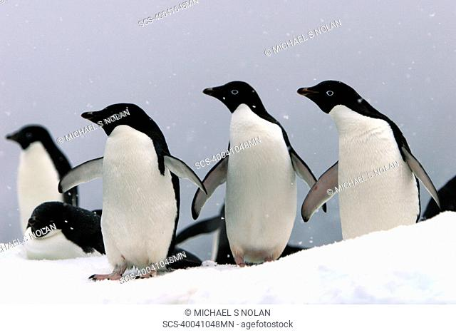 Adelie penguins Pygoscelis adeliae hauled out on an iceberg in a snowstorm near Paulet Island, Antarctic Peninsula Adelie penguins are truly an ice dependant...