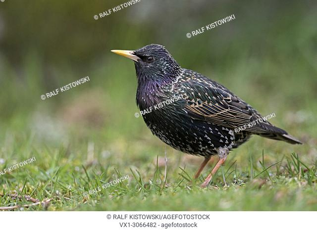Common Starling ( Sturnus vulgaris ) adult in its breeding dress, perched on the ground, nice metallic shimmering plumage, attentively watching, wildlife