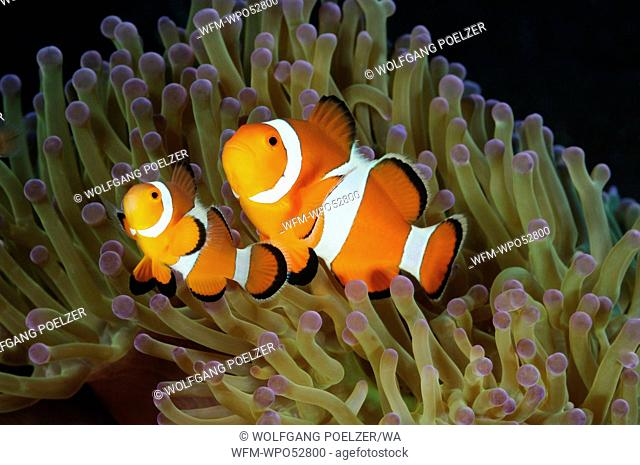 Western Clown-Anemonefish in Sea Anemone, Amphiprion ocellaris, Heteractis magnifica, Tulamben, Bali, Indonesia