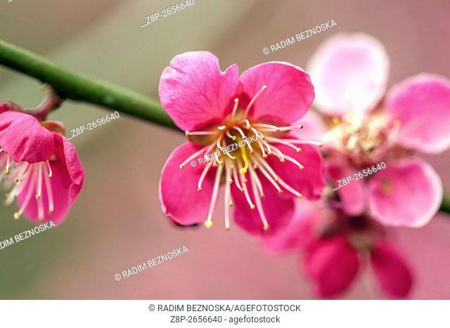 Prunus Mume Benishidori flowering early spring