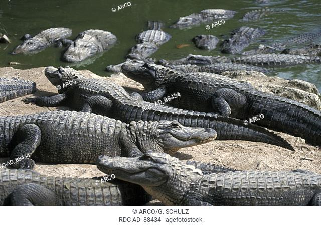 American Alligators in Alligator farm Florida USA Alligator mississippiensis