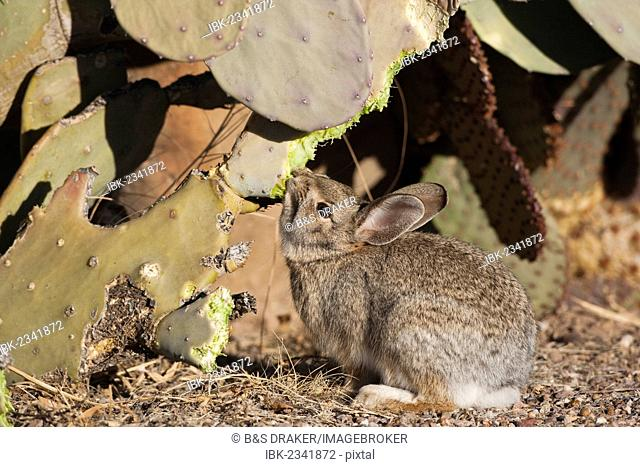 Desert Cottontail (Sylvilagus audubonii), adult feeding on prickly pear cactus in desert, Bosque del Apache National Wildlife Refuge, New Mexico, USA