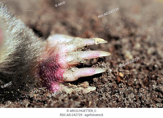European Mole hand North Rhine-Westphalia Germany Talpa europaea