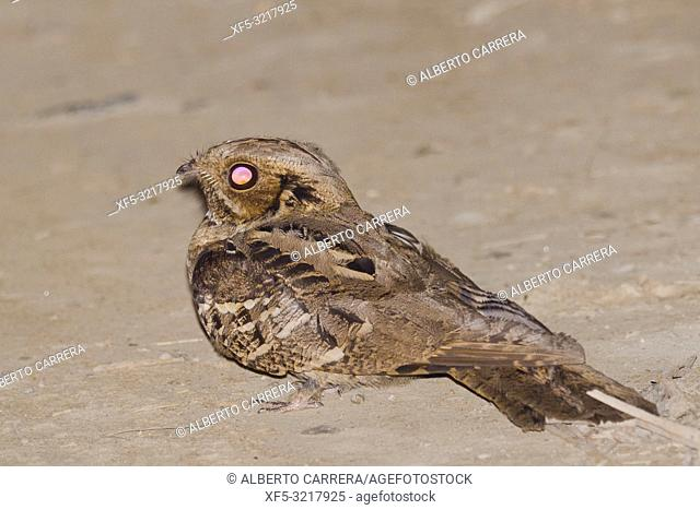 Large-tailed Nightjar, Caprimulgus macrurus, Royal Bardia National Park, Bardiya National Park, Nepal, Asia