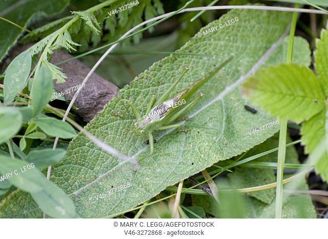 Great Green Bush Cricket, Tettigonia viridissima. Large green katydid. Wings on female grows as long as the ovipositor. Males: 28â