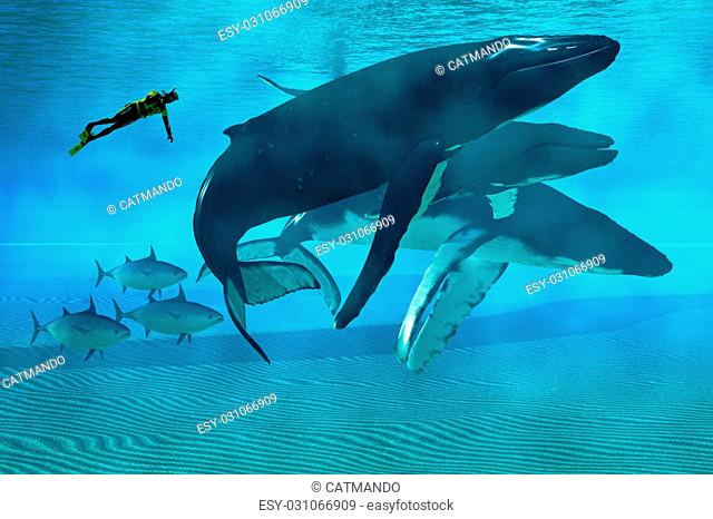 A diver swims with a pod of Humpback whales as three tuna cruise by