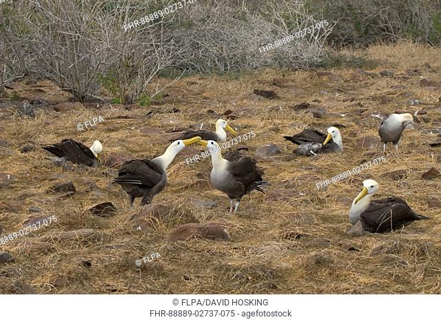 Nesting colony of displaying waved albatross's on Espanola island, Galapagos