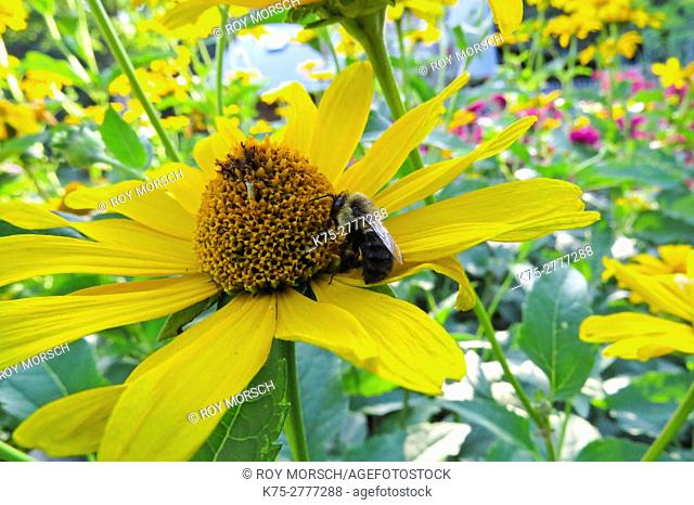 Carpenter bee on coneflower