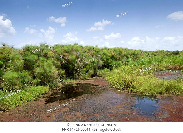 Papyrus Sedge (Cyperus papyrus) swamp habitat, Uganda, June