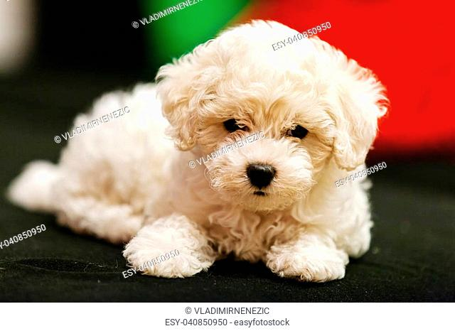 Bichon frise puppy indoors Stock Photos and Images | age