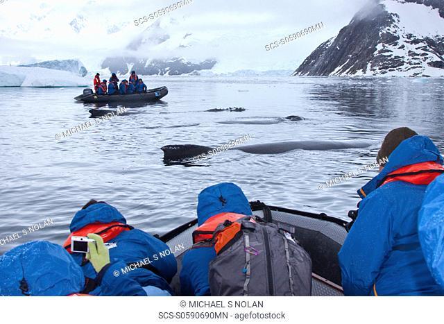 Humpback whale Megaptera novaeangliae surfacing near Zodiac near the Antarctic Peninsula, Antarctica, Southern Ocean MORE INFO Humpbacks feed only in summer