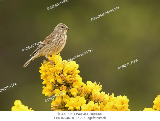 Eurasian Linnet (Linaria cannabina) adult female, perching on flowering gorse, Sheffield, South Yorkshire, England, April