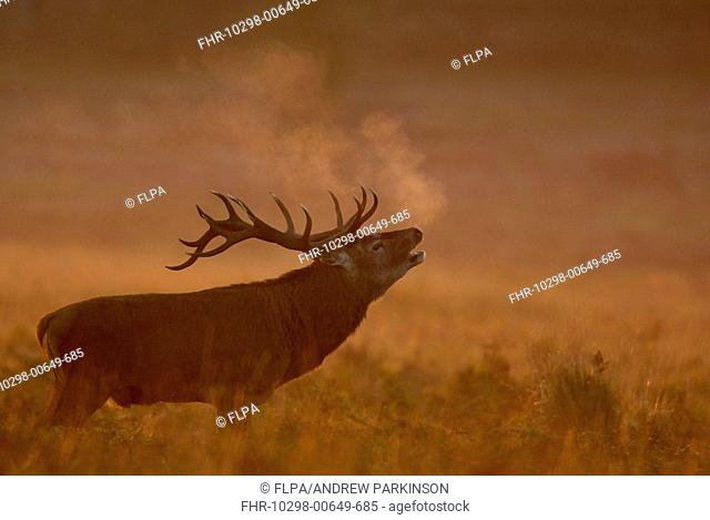 Red Deer Cervus elaphus stag, roaring, breath condensing in dawn mist, during rutting season, Leicestershire, England, october
