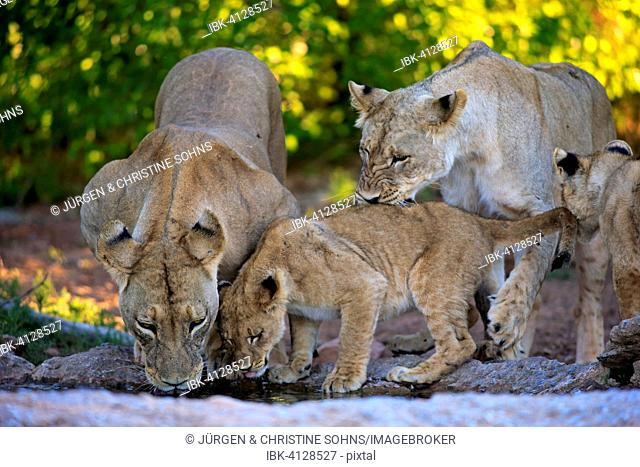 Lions (Panthera leo), lionesses with cubs, four months, at the water, drinking, Tswalu Game Reserve, Kalahari Desert, South Africa