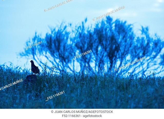 Red-legged Partridge (Alectoris rufa), La Serena, Badajoz province, Extremadura, Spain