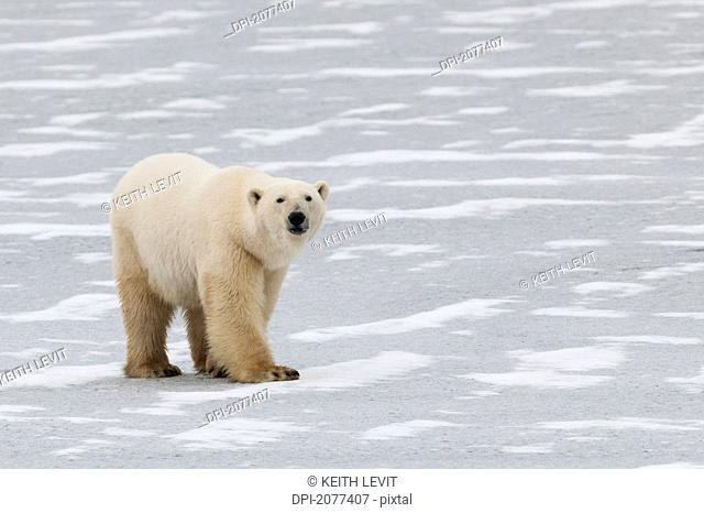 A polar bear ursus maritimus walking on the frozen hudson bay, churchill manitoba canada