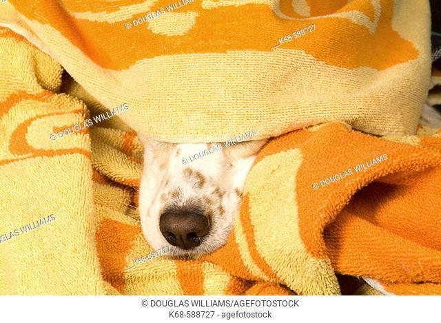 Snout of cocker spaniel, under towel