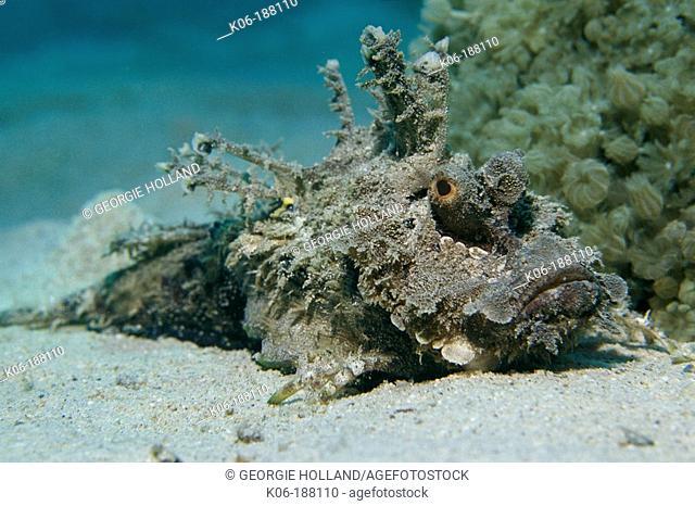 Two-stick Stingfish (Inimicus filamentosus)