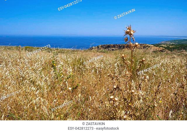 Faded thistle among the yellow grass on the high seashore of cape Espichel in Sesimbra, Portugal