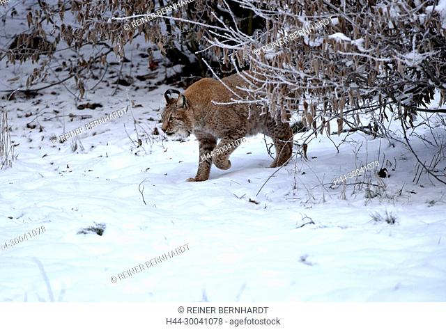 hunter, to great cat, cat, cats, lynx, lynx in winter, lynx in the winter fur, lynxes, Lynx, fur animal, fur animals, predator, big cat, big cats, predator