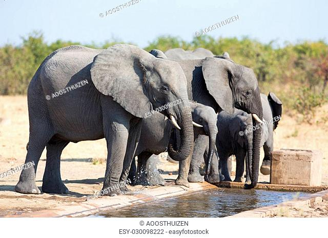 Elephant calf drinking water on a dry and hot day