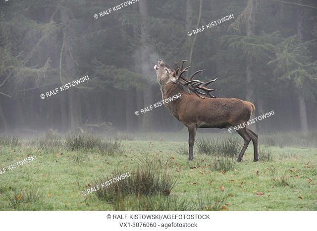 Red Deer ( Cervus elaphus ), stag, roaring in front of the edge of a forest on a misty morning, puffing its breath, Europe