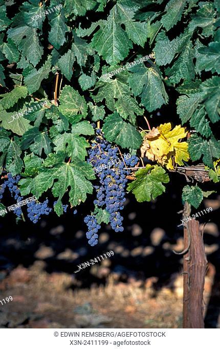 CALIFORNIA - Sonoma vinyards