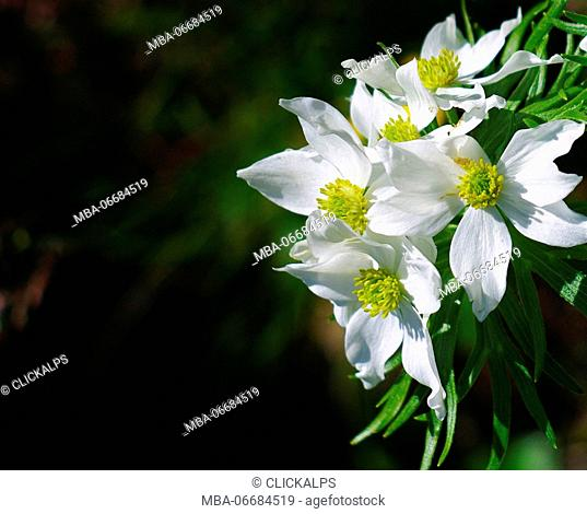 Narcissus flowered anemone, Val d'Arigna, Lombardy, Italy