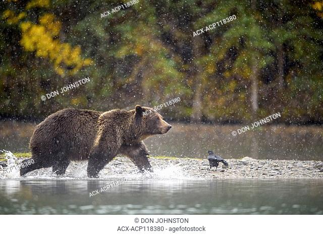 Grizzly bear (Ursus arctos)- Hunting sockeye salmon along the shore of the Chilko River, Chilcotin Wilderness, BC Interior, Canada