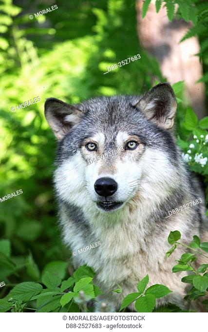 United States, Minnesota, Wolf or Gray Wolf or Grey Wolf Canis lupus